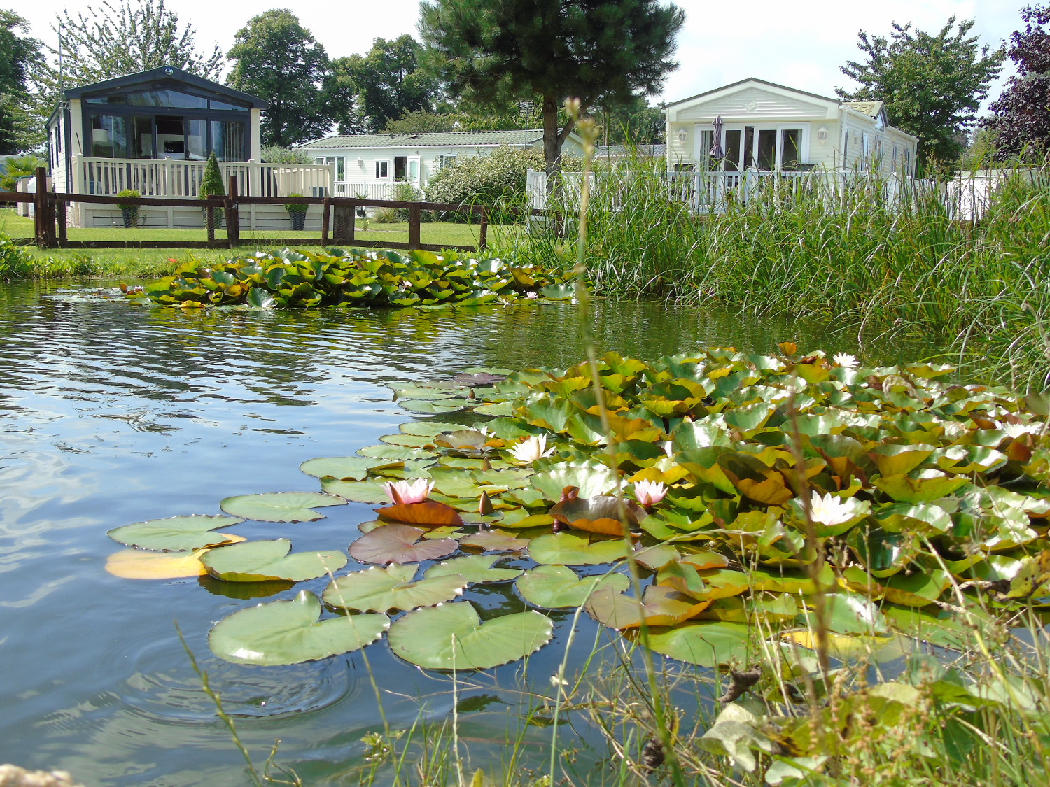 lillies on the pond at fir trees